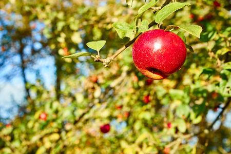 bough: Delicious red apples on tree bough Apple close before harvest in germany Fruits of Germany close to Stuttgart Stock Photo