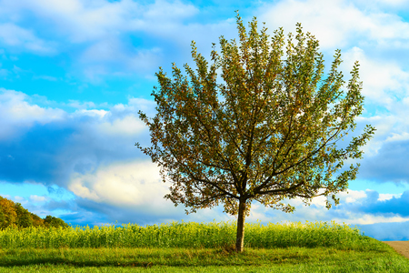 tree of life: Apple tree on meadow under blue sky  Apple tree close before harvest on field in germany Stock Photo
