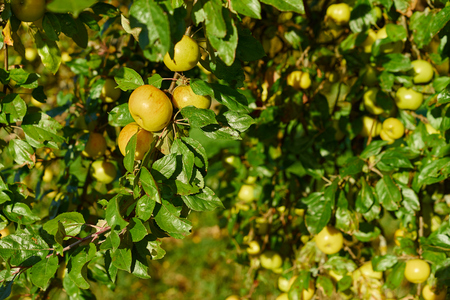 boughs: delicious yellow apples on boughs  Apple tree close before harvest in germany  Fruits of germany close to Stuttgart