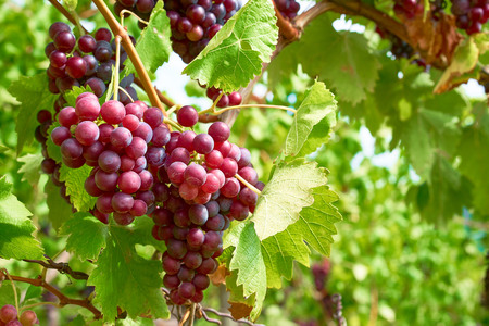 grape juice: Bunch of vine berries in sunshine Stock Photo