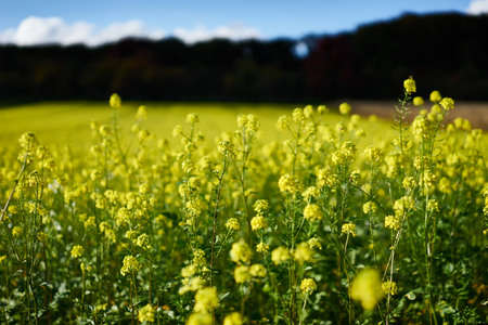 coleseed: Yellow rape on a field or meadow under blue sky in germany Stock Photo
