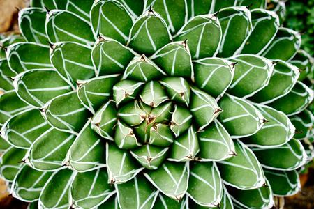 agave: victoriae-reginae Agave Compacta