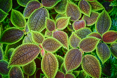 mollis: Pilea Mollis - foliage with nice structure Stock Photo