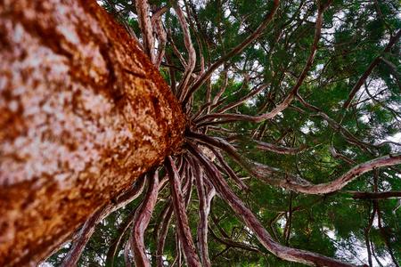 spermatophytina: Mammoth tree with many branches skyward