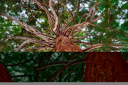 many branches: Mammoth tree with many branches skyward