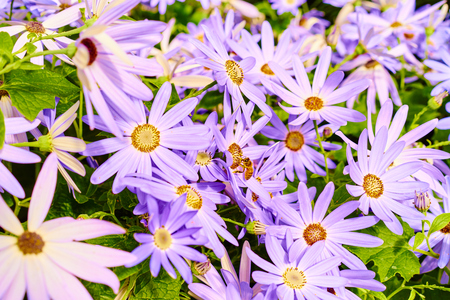 purple daisies with bee collecting honey Stock Photo