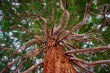 tracheophyta: Mammoth tree with many branches skyward