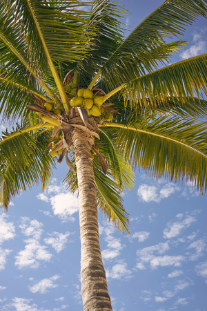 Foliage of Coconut Palm tree at Akumal Beach in Mexico  Tropical Beach Feeling
