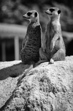 Meerkat sitting na the stone black and white photo
