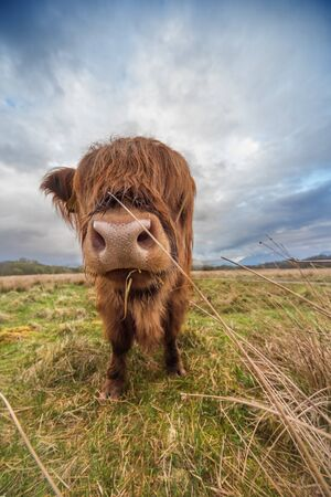 Cow on open pasture in Scotland Stock Photo
