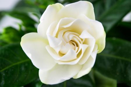 Isolated Gardenia s Stock Photo