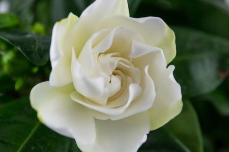 Isolated Gardenia s Foto de archivo