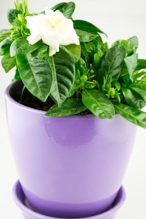 Gardenia in Flower Pot Stock Photo