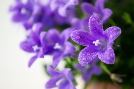 campanula or bellflowers with water drops on white photo