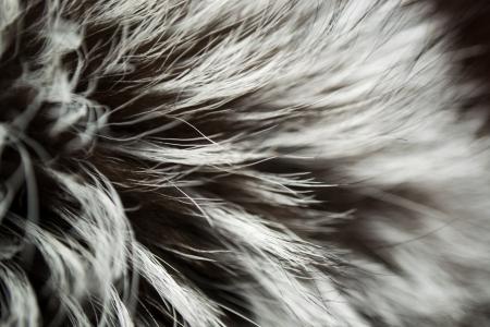 silver fox: Luxury Fur ruso Silver Fox fondo Foto de archivo
