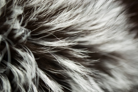 silver fox: Luxury Fur Russian Silver Fox background
