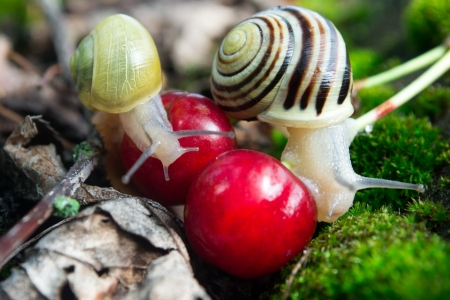 Helix Pomatia  edible snails in forest  photo