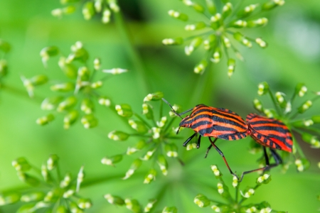 Striped stink bug climbs on umbels
