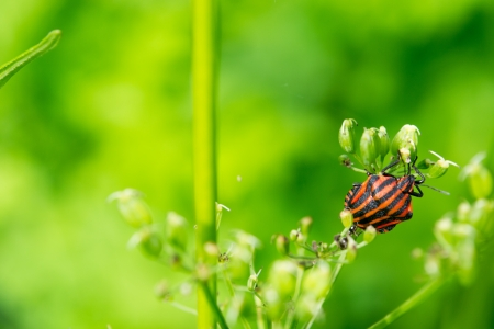 Striped stink bug climbs on umbels Stock Photo - 20725815