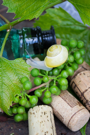 Wine bottle with grapes, snail and corks  photo