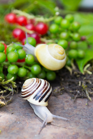 grape snail: Snail in a Summer Garden