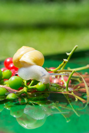 grape snail: Snail crawling on a red currant berries in water