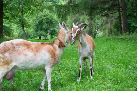 Portrait of a funny goats butting each other photo