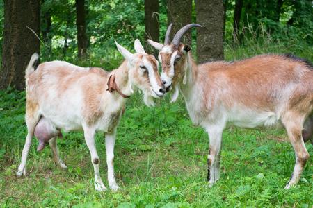 Portrait of a funny goats photo