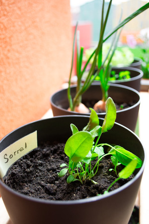 sorrel: Plant pots with sorrel and herbs