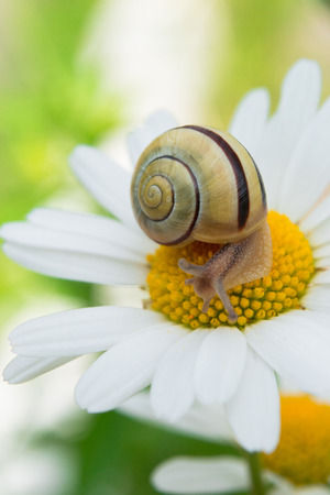 Garden snail sits on a camomile