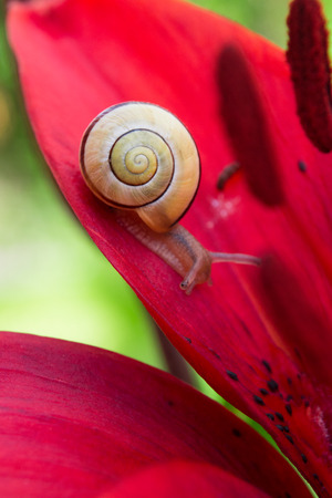 behold: Snail and red lily flower