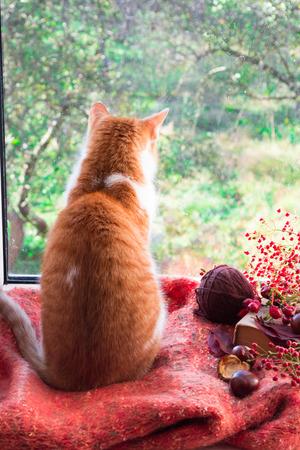 Red cat sitting on a windowsill looking on the garden. Autumn cat Stock Photo