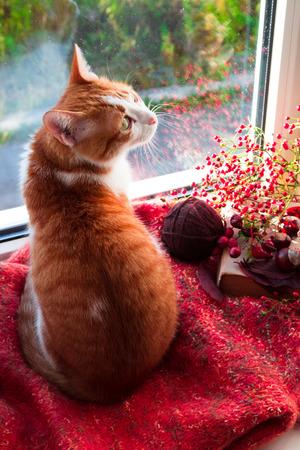 Red cat sitting on a windowsill looking on the garden. Autumn cat Foto de archivo