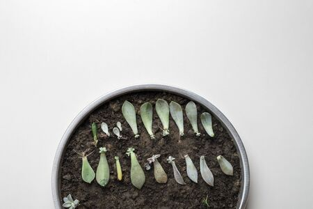mini succulents branches spread ready for transplant into soil with copy space on white background Stockfoto