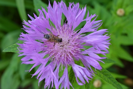 cornflower and the bee photo