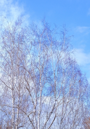 graceful birch trees against the sky Stock Photo