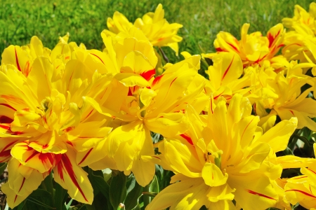 yellow tulips in a flowerbed photo