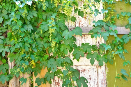 climbing plant and an old door photo