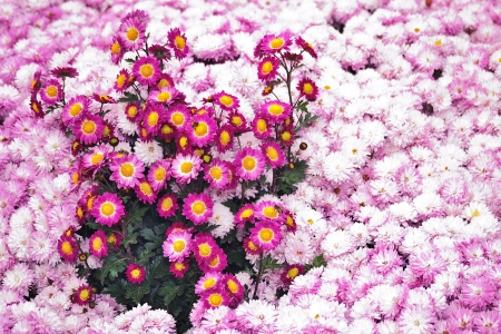 autumn chrysanthemum Stock Photo
