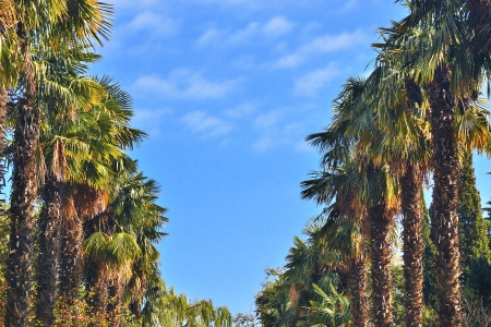 rows of palm trees against the sky photo