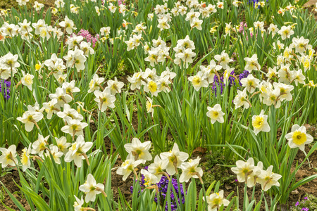 field of daffodils photo