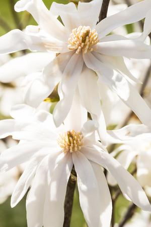 white magnolia flowers macro