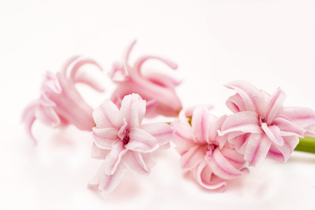 branch of pink hyacinth macro photo
