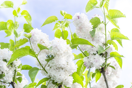 white lilacs against the sky