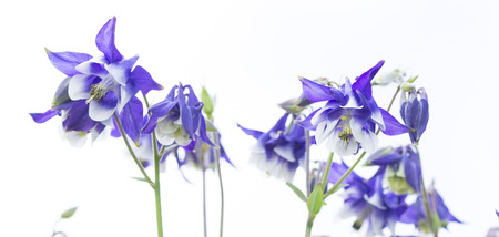 flowers white blue bells in the studio