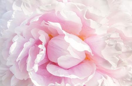 ピンクの牡丹マクロ