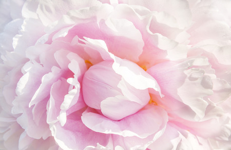 macro de peonía rosa Foto de archivo