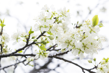 branch of cherry blossoms Stock Photo