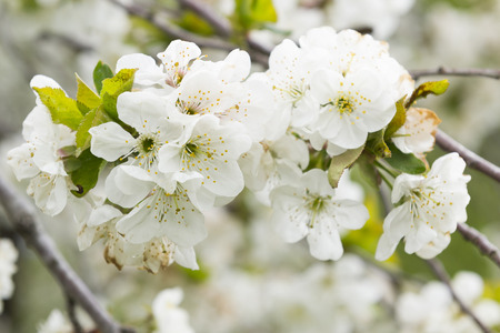 white cherry blossom close-up Stock Photo