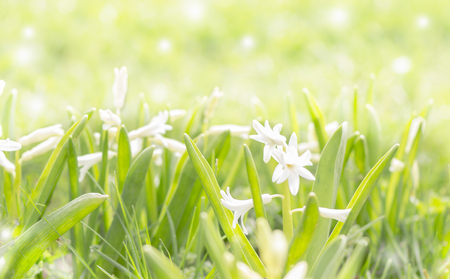 Field early hyacinths Stock Photo